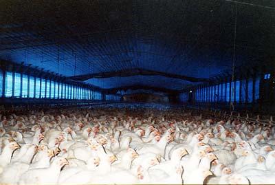 chickens jpg